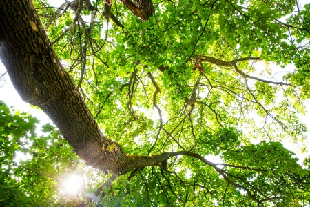 The warm spring sun shining through the treetop of an impressive old beech tree Stock Photo