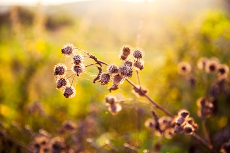 distel groeiende wilde in een weiland bij zonsondergang tijd.