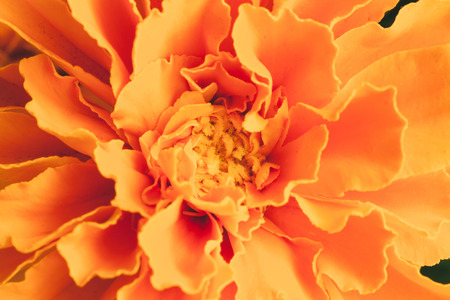 carotenoid: Marigold flower Stock Photo