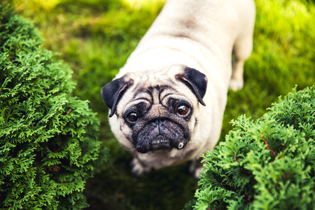 pug puppy: Funny pug on a grass in a summer park. Stock Photo