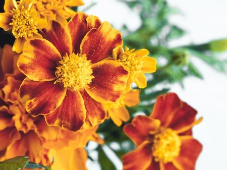 oleoresin: Marigold flower Stock Photo