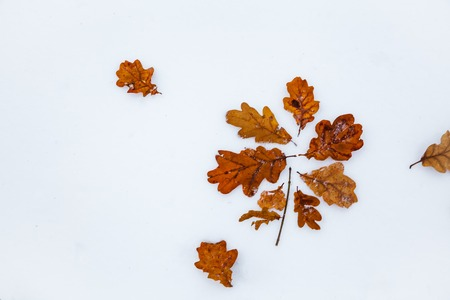 Two oak leaves on snow. The cold period of the year