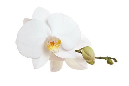 White Orchid closeup Stockfoto