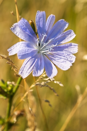 Medicinal plant chicory
