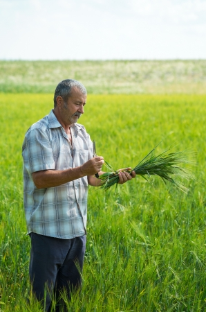 agronomist: Agronomist with wheat in hands. Field of wheat on background