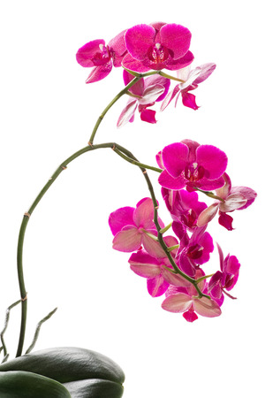 Red orchid on white background