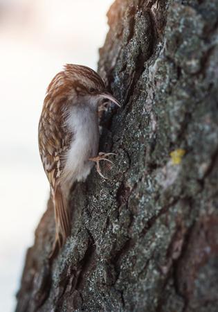 familiaris: Small forest bird on a tree (Certhia familiaris) Stock Photo