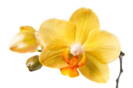 beauteous: Yellow orchid on a white background Stock Photo