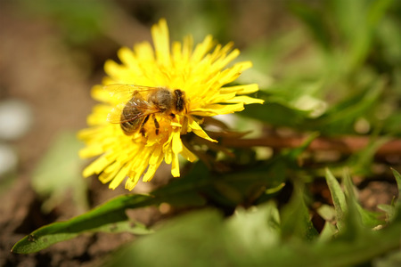 Bee collects pollen from flowering dandelion photo