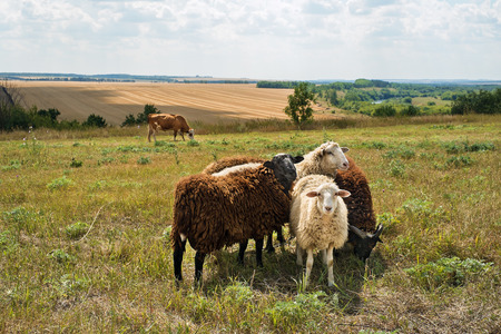 fresian: Flock of sheep grazing in a meadow