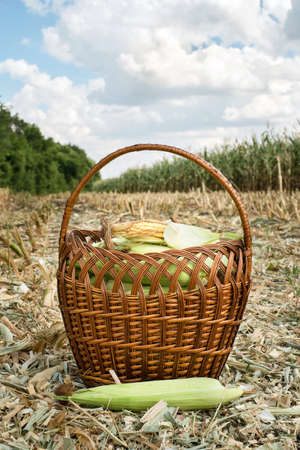 Freshly corns in the basket photo