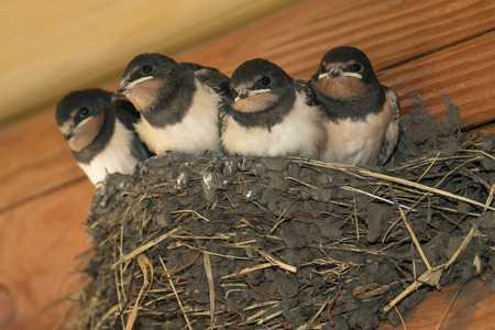 Swallows in a nest