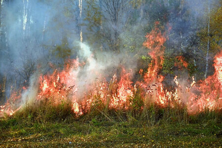 Fire in the birch forest photo