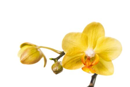 beauteous: Flower of yellow orchid isolated on white background