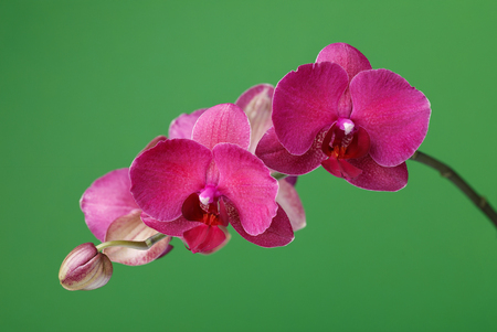 Branch of a blossoming orchid claret color on a green background, close-up