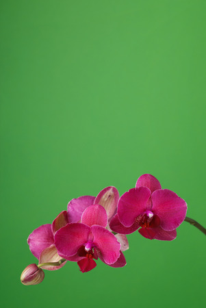 Branch of a blossoming orchid claret color on a green background with space for text