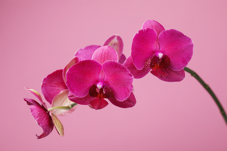 Branch of a blossoming orchid claret color on a pink background, close-up Stock Photo