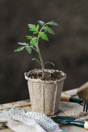 Tomato sprouts in a peat pot and garden tools, close-up