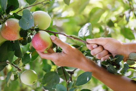Picking ripe apples in a home garden, close-up