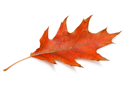 Fallen maple leaf in warm autumn colors isolated on white background