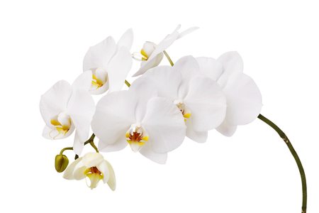 An isolated branch of a beautiful white orchid having a yellow color at the lower petals Imagens