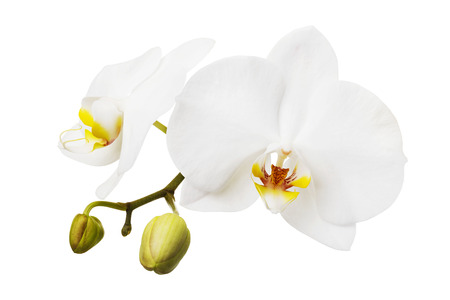 Branch of a blooming white orchid having a yellow color on the lip. Flowers isolated Imagens