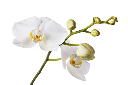 Branch of a blooming white orchid with a yellow color in the middle and several unopened buds. Flowers isolated