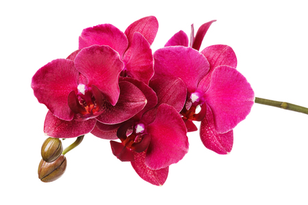 Ein Zweig einer schönen blühenden Orchidee in Rottönen, isoliert auf weißem Hintergrund Standard-Bild