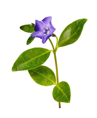 Blooming periwinkle isolated on white background. Medicinal plant from various tumors