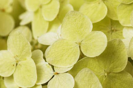 Texture from flowering multi-year Phlox, macro Stockfoto