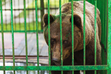 Bear in a cage with a painted face. Concept on the topic of abuse of animals