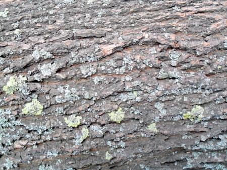 arbol alamo: La corteza del árbol de álamo de cerca para el fondo