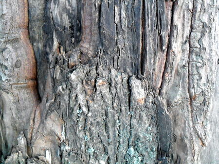 Poplar tree bark close-up for background photo