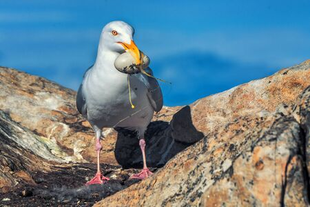 Petrel with an egg in its beak stealing from the nest Imagens