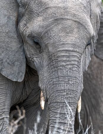 Closeup of an elephante eating grass with big eyes in Namibia Stockfoto