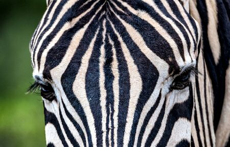 Closeup of a zebra with big eyes and eyelashes in Namibia