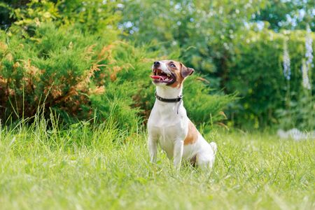 companions: Dog breed Jack Russell Terrier sitting on the grass