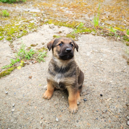 Cute fluffy Caucasian shepherd puppy looking for owner Stock Photo