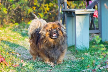 Pet dog Pekingese running on the green path Stock Photo