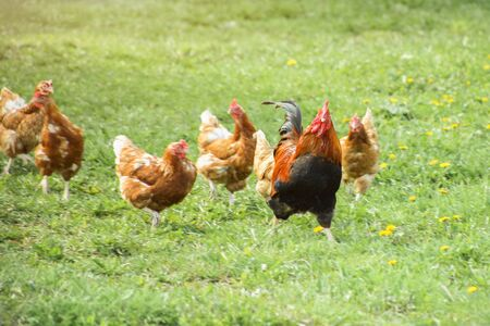 The hens follow their important beautiful cock