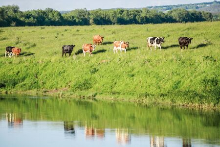 Cows in the village go to the watering hole