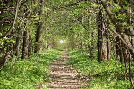 shrubs: Long trail through a beautiful forest. Summer landscape.