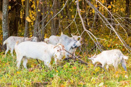 ヤギは彼らの角を傷つける、乾燥した枝を使用します。