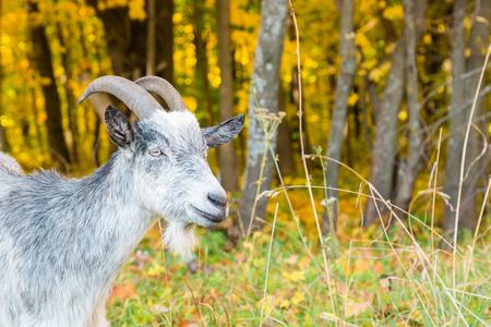 秋の森の背景に山羊座のクローズ アップの銃口 写真素材