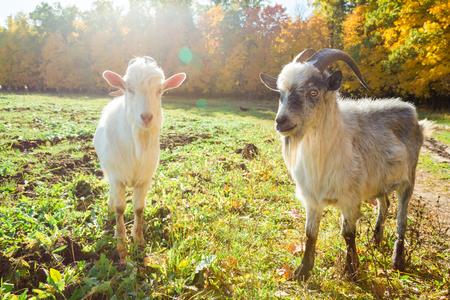 秋の森の背景にヤギ 写真素材