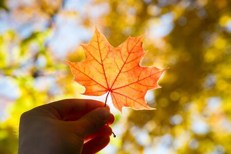 fallen tree: Maple leaf in hand on a blurred background of autumn foliage Stock Photo