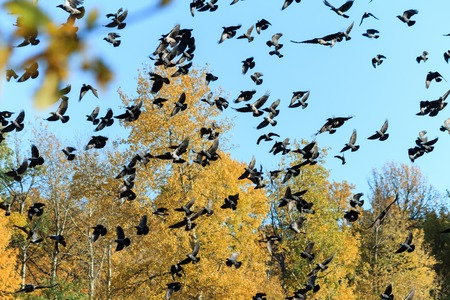 A large flock of crows on the background of autumn forest and blue sky. Stockfoto