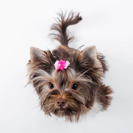 Cute dog with a pink bow on a white background. Yorkshire terrier.