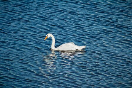 White swan is floating on blue water