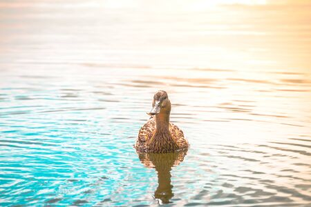Adult duck swimming in the lake in summer 写真素材